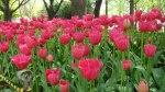 Macro Photo of Tulips